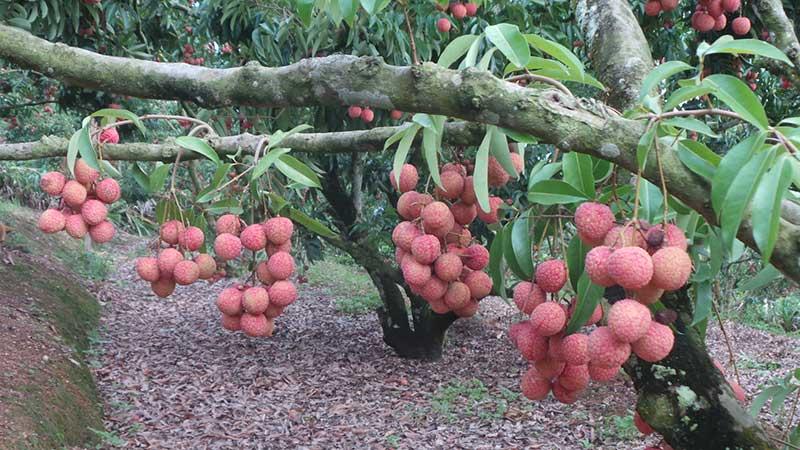 Vải thiều Lục Ngạn mọc ở thân cây