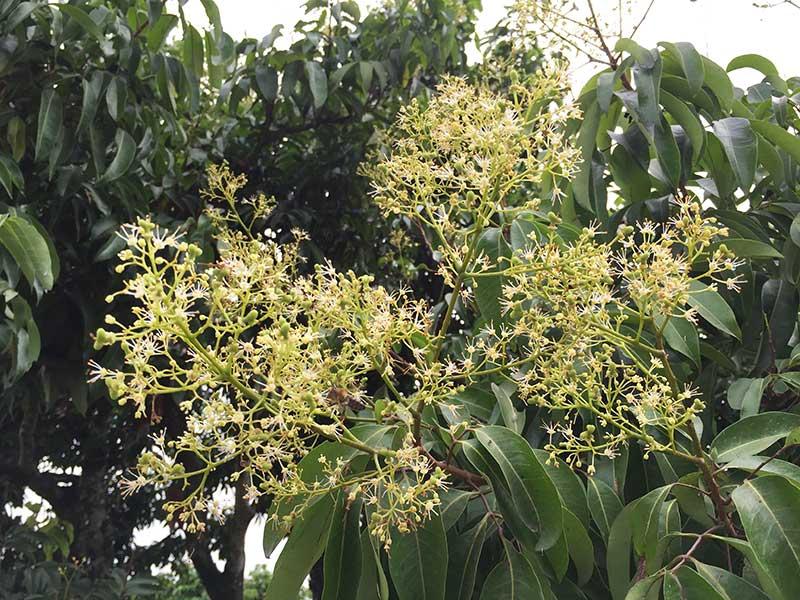 Hoa vải thiều Lục Ngạn